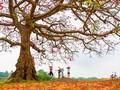 Bunte Bombax ceiba-Bäume in den ländlichen nordvietnamesischen Gebieten