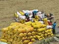 Erweiterung der Feldbeschränkung im Mekong-Delta für Großproduktion