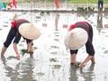 Das einzigartige Fest zum Beginn der Reis-Saison der Einwohner in Quang Yen