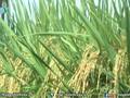 Singapore là thị trường xuất khẩu gạo tiềm năng của Việt Nam