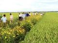 Cultivo de flores a lo largo de los bordes de los campos ayuda a promover la agricultura sostenible