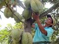 Memperkenalkan buah durian Vietnam dan produk turunannya