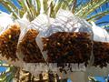 阿尔及利亚希望对越出口椰枣