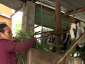 Goat raising brings Ninh Thuan farmer out of poverty