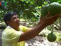 """เกษตรกรเวียดนามมีรายได้กว่า 1 พันล้านด่งต่อปีจากการปลูกส้มโอเขียวหรือ """"เบื๋อยยาแซง"""""""
