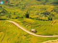 Amazing golden rice fields in northwestern Vietnam