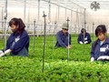 Aplicación de alta tecnología en la producción agrícola en Hai Phong