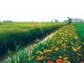 """Modell """"Reisfeld mit Blumenrand"""" trägt zur nachhaltigen Landwirtschaftsproduktion bei"""