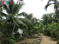 Le royaume des cocotiers