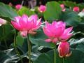 Lotus et ses bienfaits