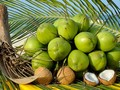 前江省干椰子价格暴涨
