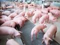 养猪业出现复苏信号