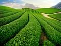 La provincia de Son La avanza gracias a la producción agrícola limpia y segura
