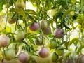 Agricultores de Moc Chau prosperan gracias a frutas de la pasión
