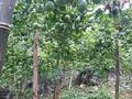 Bewohner in Moc Chau pflanzen Passionsfrucht zum Export