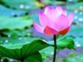 Mengikhtisarkan surat saudara-saudara pendengar dan memperkenalkan sepintas-lintas tentang bunga teratai di Vietnam