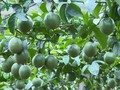 Moc Chau people grow passion fruit for export