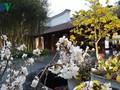 Cherry blossom, yellow ochna flower festival brightens Yen Tu mountain