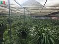 サパにおけるランの栽培