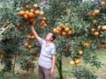 クアンビン県:VietGap導入による持続可能なオレンジ栽培発展