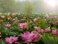 ベトナムの花をテーマにした曲