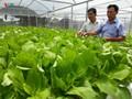 クアンナム省におけるハイテク野菜生産