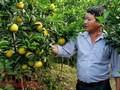 Hung Yên, une orangeraie à ciel ouvert