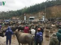 北部山岳地帯の最大の水牛市場