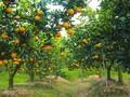 甜如蜜的兴安橙子