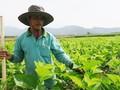 Bauern erhöhen ihr Einkommen dank Maulbeerpflanzen und Seidenraupenzucht