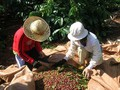 Erhöhung der Werte von Kaffeebäumen bei Entwicklung der Wirtschaft im Hochland Tay Nguyen