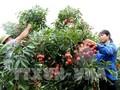 Petani Provinsi Bac Giang mendapat panenan berlimpah-limpah pada musim buah leci tahun 2019