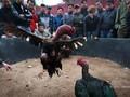 Memperkenalkan sepintas lintas tentang hobi main sabungan ayam
