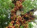 Memperkenalkan pohon ara dan mafaatnya