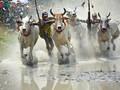 Đặc sắc Lễ hội đua bò Bảy núi tỉnh An Giang