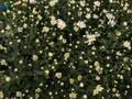 Beautiful ox-eye daisies in Nhat Tan flower village