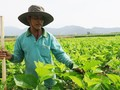 种桑养蚕给平顺省德灵县农民带来高收入