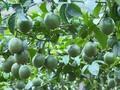 木州县居民种植百香果出口国外