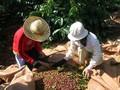 ยกระดับคุณค่าต้นกาแฟและพัฒนาเขตเศรษฐกิจเตยเงวียน