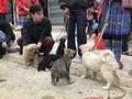 เที่ยวตลาดบั๊ก ห่า หาซื้อสุนัขพันธุ์พื้นเมืองของเผ่าม้ง