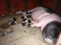 广宁省的珍贵稀有的猪种-芒街猪