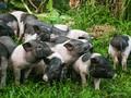 Maßnahmen zur Bewahrung der wertvollen Schweinerasse Mong Cai