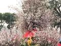 2019년 하노이-일본 벚꽃축제에서의 새로운 볼거리