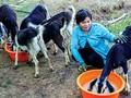О молодом Нгуен Ван Дине и его моделе разведения коз