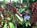 베트남의 특산물 – 커피, 베트남의 새로운 발전 방향