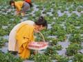 베트남의 최대 딸기 농장 탐방