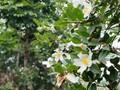 La fête florale des camélias à huile de Binh Liêu 2018