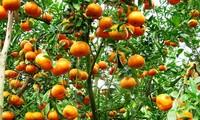 Keindahan kebun jeruk keprok  Lai Vung, provinsi Dong Thap