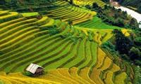 Pesawahan terasering di kabupaten Mu Cang Chai-Keindahan  megah di daerah  pegunungan Tay Bac
