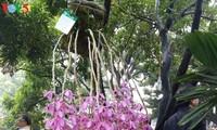 ハノイ市の蘭祭り